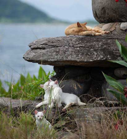 Gatos en la isla de Tashirojima jugando