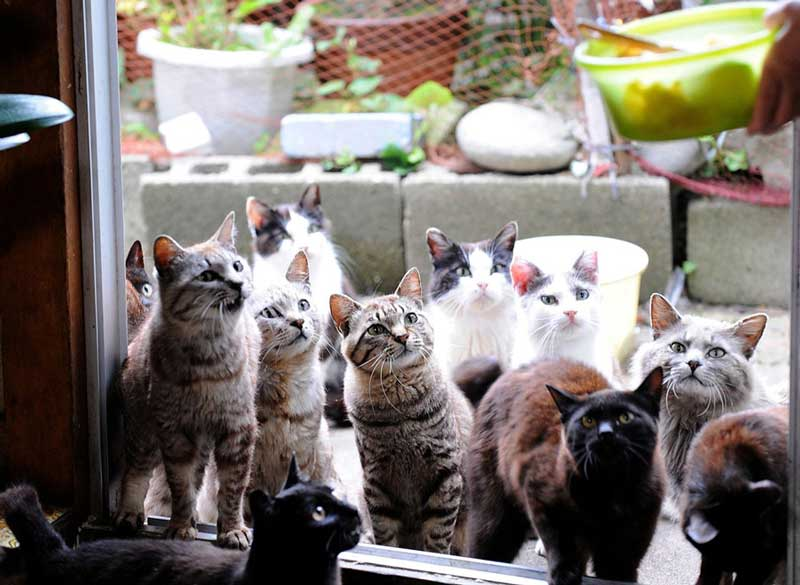 Gatos esperando la comida en la isla de Tashirojima