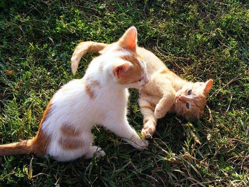 gatitos jovenes jugando