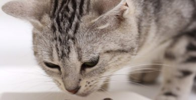 Gato come alimento que puede ser perjudicial