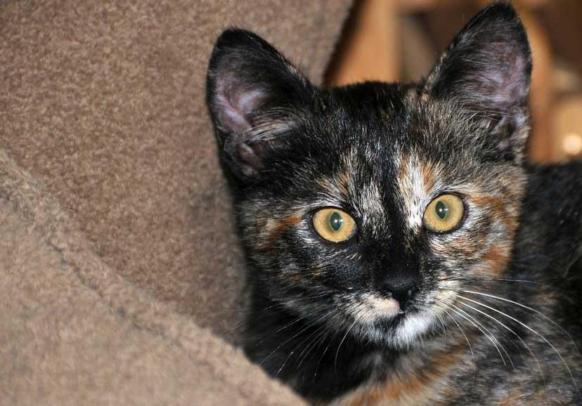 Un gato carey