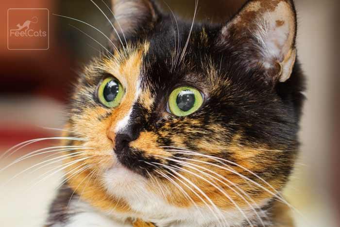 gato-carey