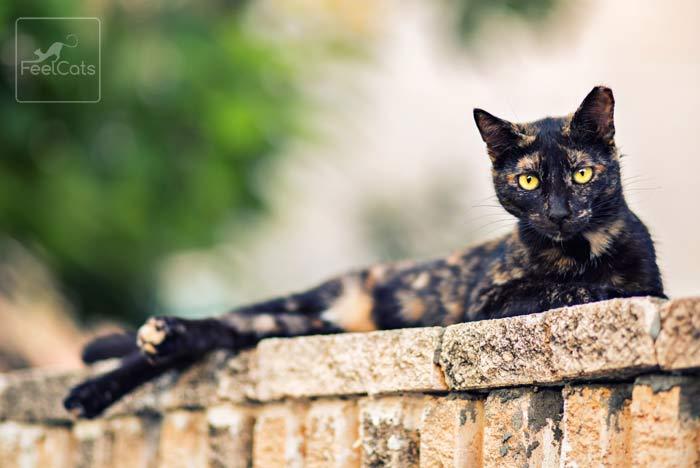 gato-carey-informacion