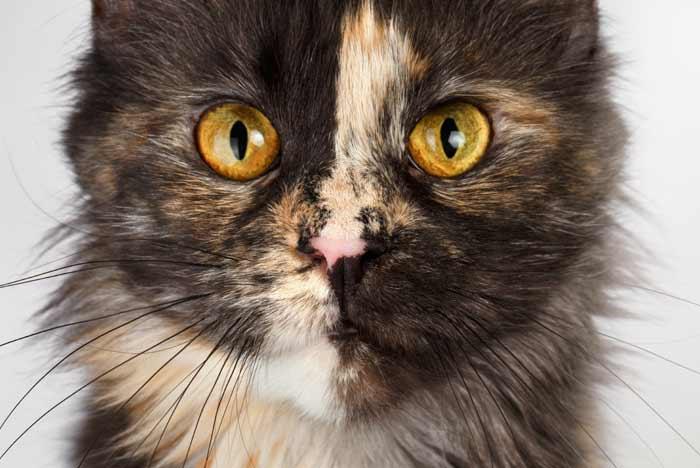 gatos-carey