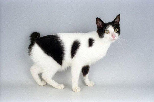 gato-Bobtail-japones
