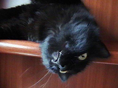 Nigga, la gata de pelo negro y largo, descansa