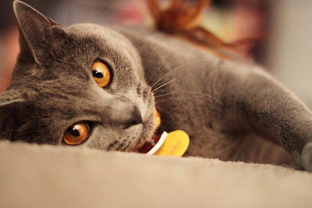 Chartreux o gato cartujo