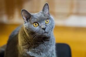 El Chartreux o Gato Cartujo