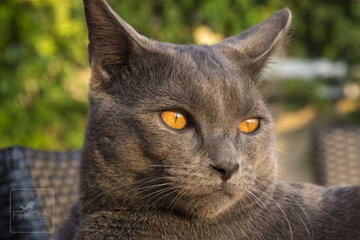 gato-cartujo