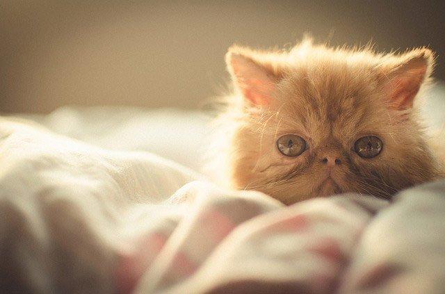 gato-persa-exotico