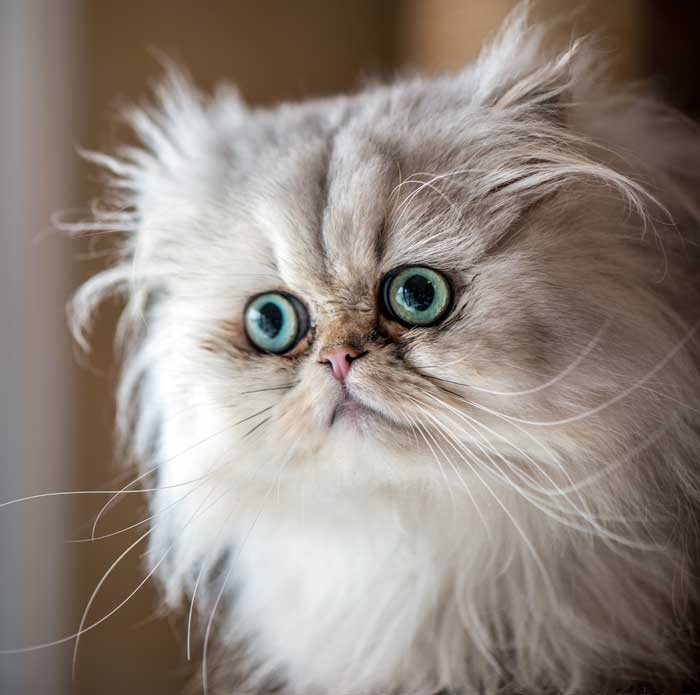 gato-persa-chinchilla