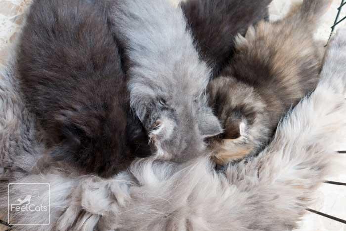 comprar-gato-persa