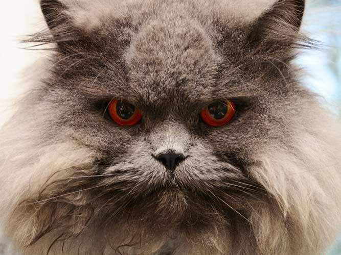 8 intimidades del gato persa   feelcats