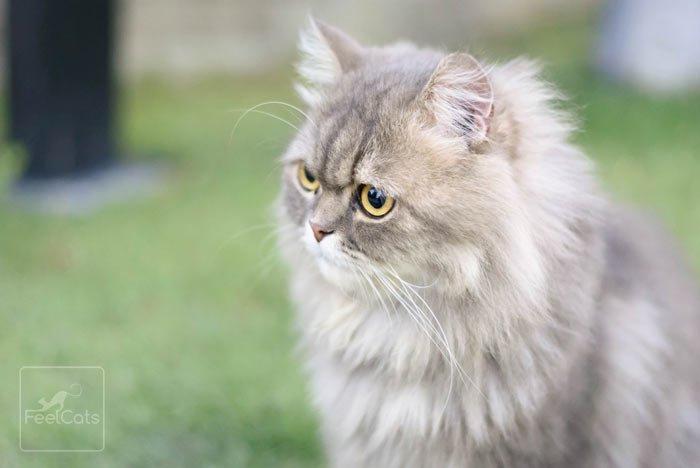Gato Persa Carácter Cuidados Y Curiosidades Feelcats