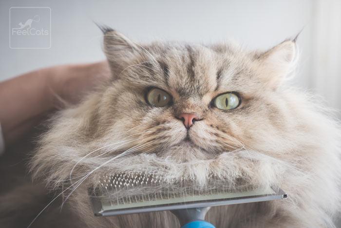 gato-persa-cuidados