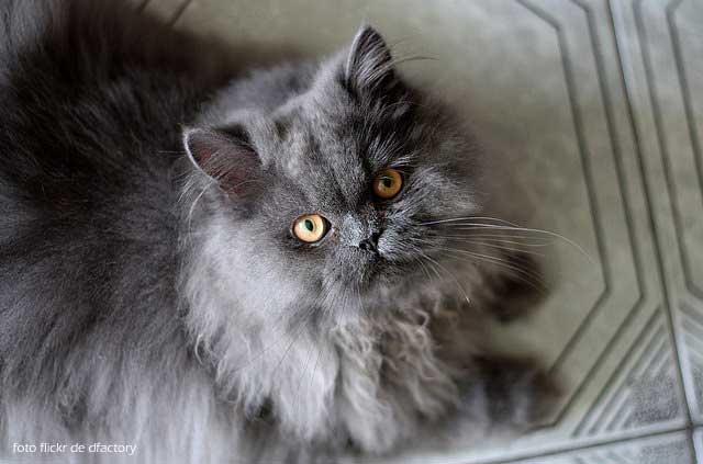 gato-persa-gris-negro