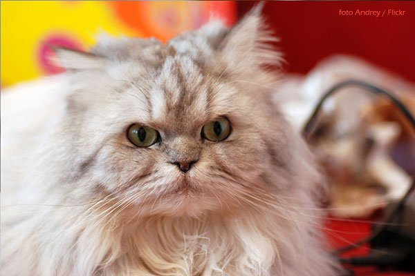 gato-persa-caracter