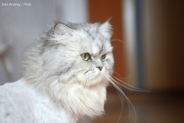 gato-persa-blanco-griss