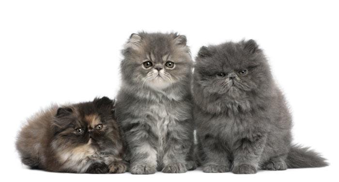 gatitos-persas
