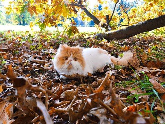 gato peke-face