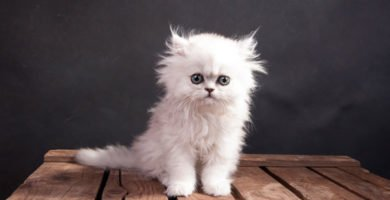 Curiosidades del Gato Persa en el blog de FeelCats