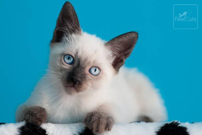 cuanto-vive-gato-siames