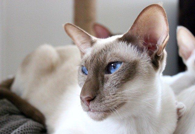 gato siamés moderno