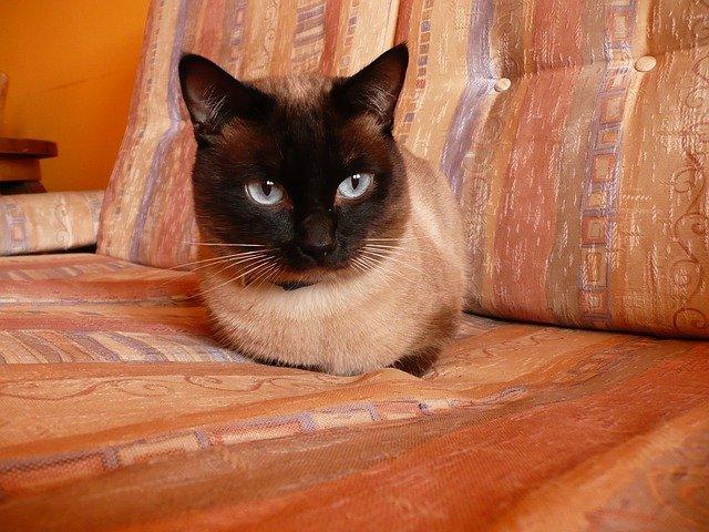 gato-siames-comportamiento