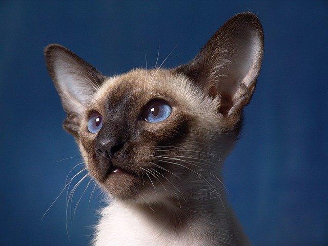 gatito persa