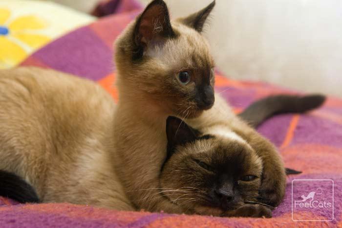 gato-siames-bebe