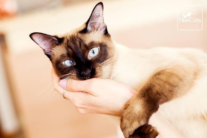 gato-siames-bizco