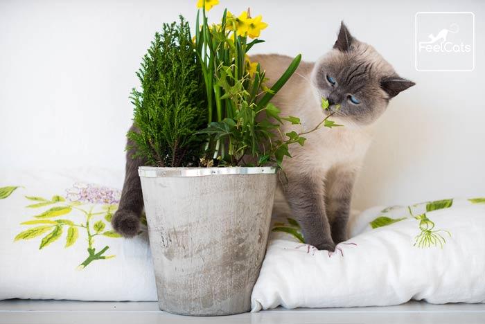 gato-siames-blanco