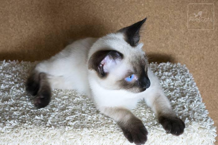gato-siames-cuidados