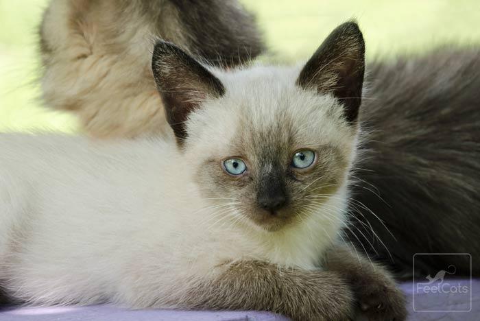 gato-siames-caracterisiticas