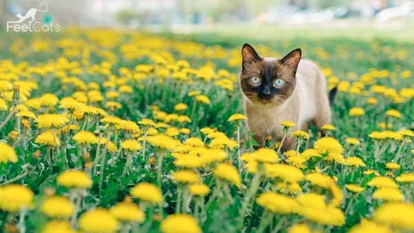 gato-siames-historia