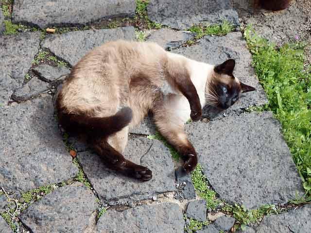 gato-siames-jugar