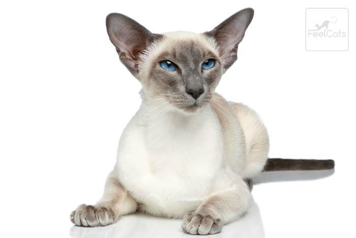 gato-siames-oriental-pelo-corto