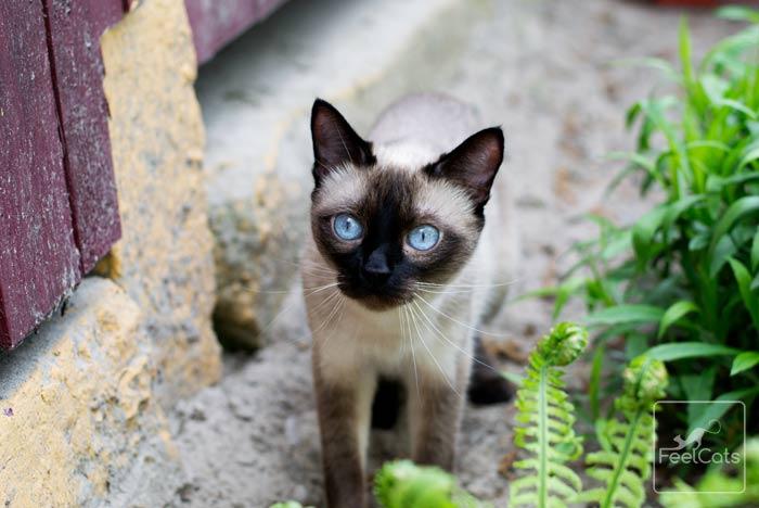 gato-siames-tradicional