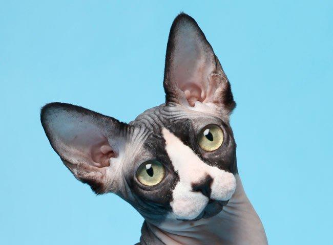 Las 3 Razas de Gatos sin Pelo más Famosas