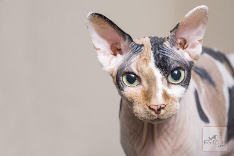 gatos-sin-pelo-esfinge
