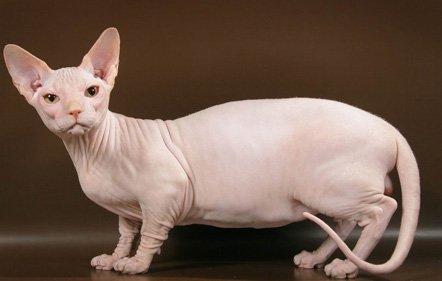 Resultado de imagen de gatos bambino cat