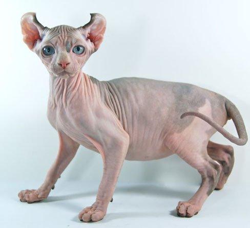 Resultado de imagen de gatos elfo catt