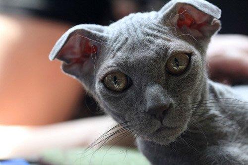 gato-sin-pelo-levkoy-ucraniano