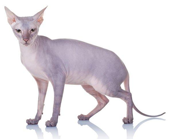 gatos-sin-pelo-donskoy
