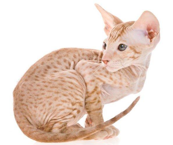 Resultado de imagen de gatos peterbald