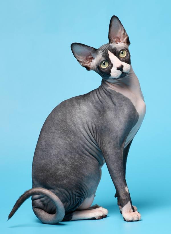 gatos-sin-pelo-sphynx-1