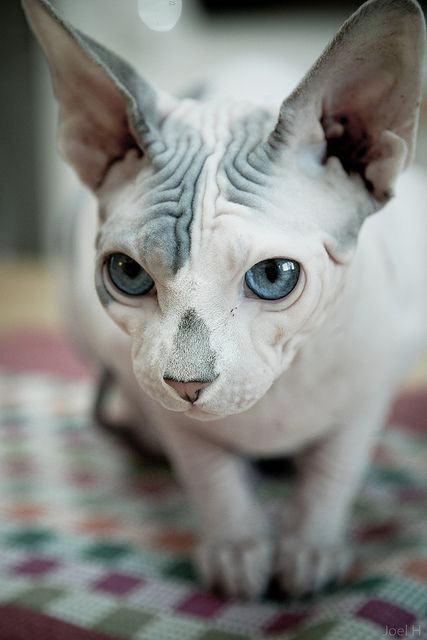 gatos-sin-pelo-sphynx-ojos-azules