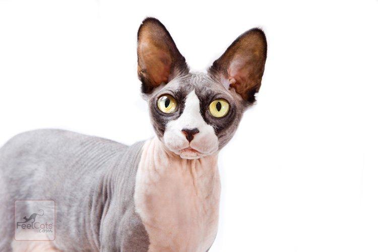 gatos-sphynx-esfinge