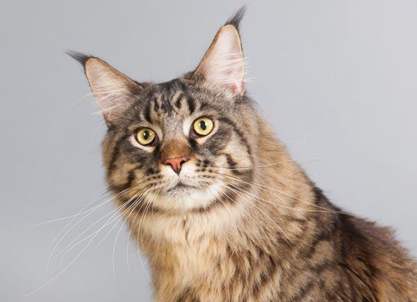 Maine coon una raza de gatos elegante y salvaje - Fundas para unas de gato ...