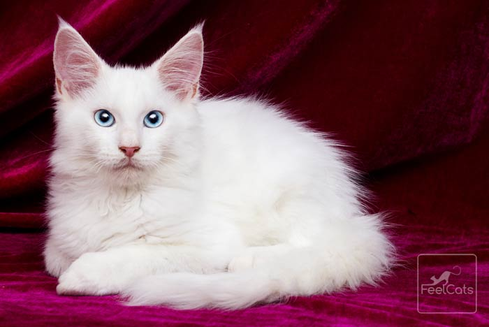 maine-coon-blanco-ojos-azules